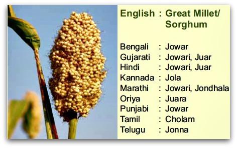 Sorghum, cholam, jonna, Jowar, Jowari