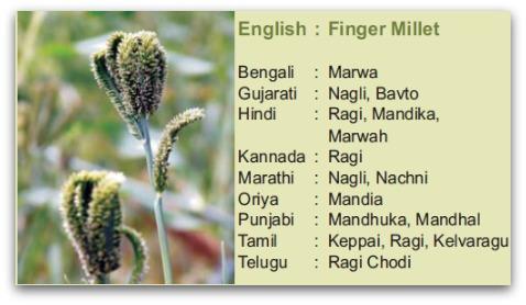 ragi , nachni, finger millet