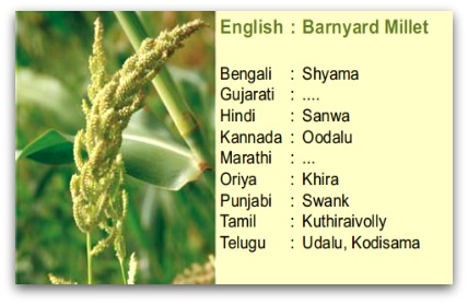barnyard millet, kuthiraivaali, sanwa