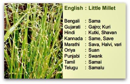 little millet, samai, samalu, kutki , shavan